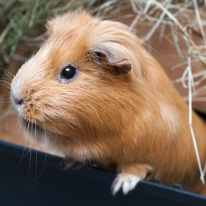 contact sydney pet boarding for guinea pig holiday care