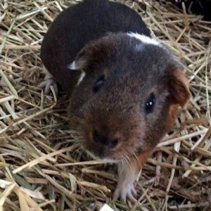 duffys forest pet resort for guinea pigs