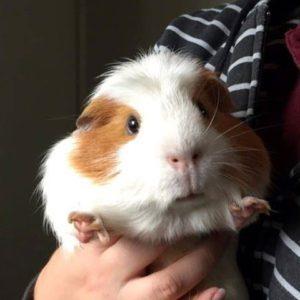 guinea pig boading sydney