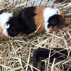 guinea pig kennel sydney
